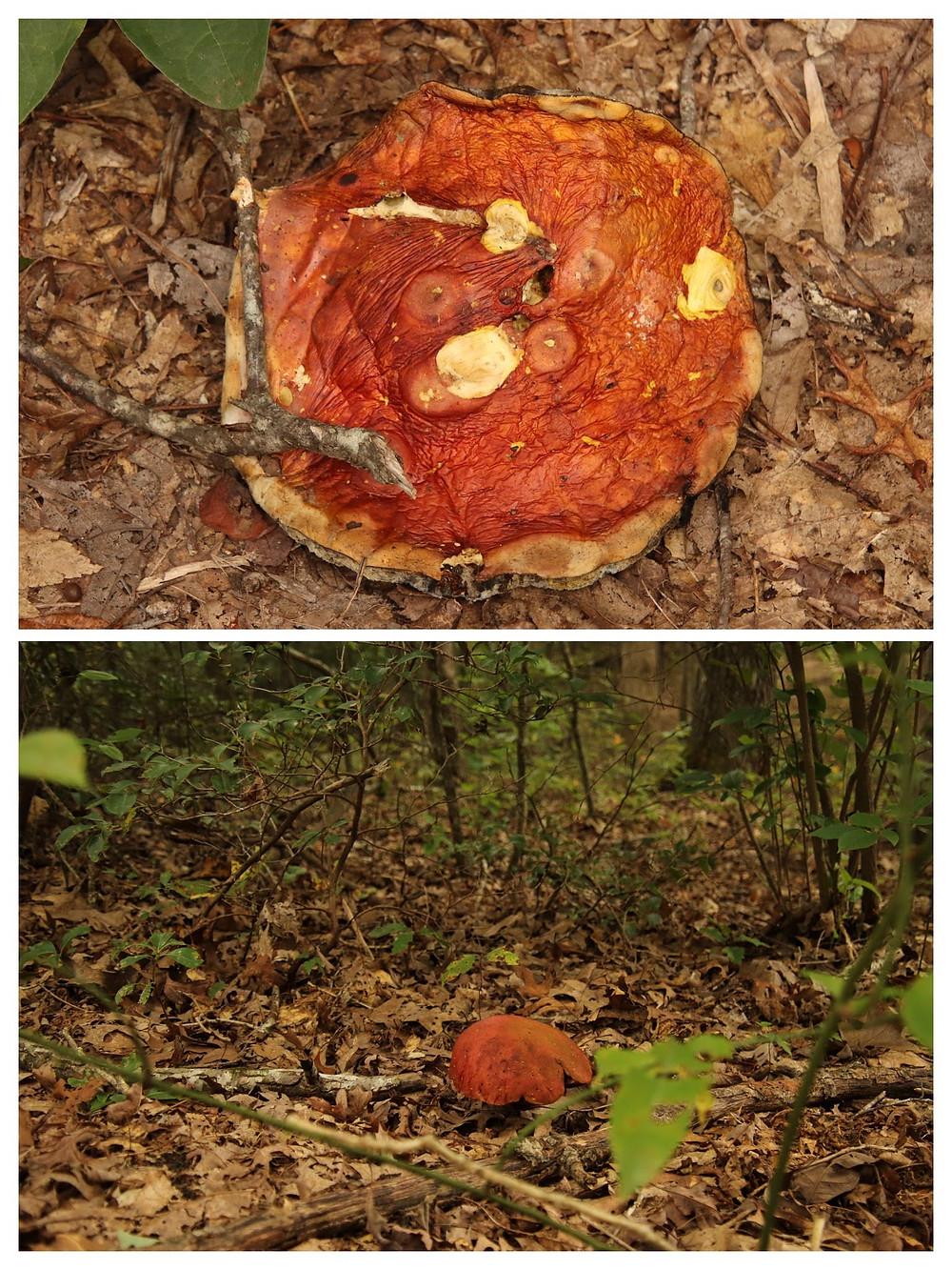 Big Rust Orange Mushrooms