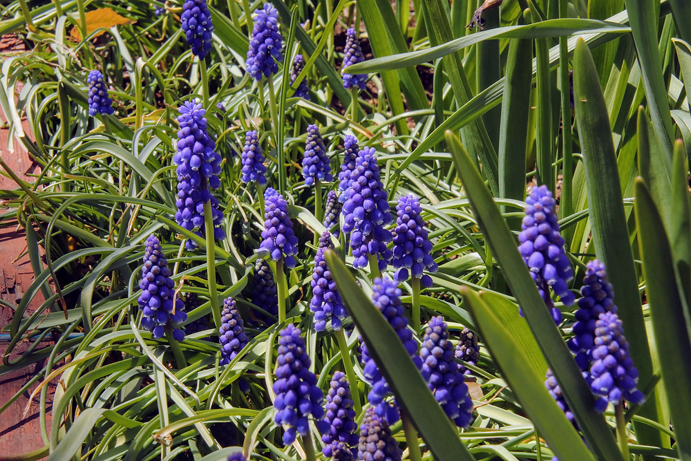 Grape Hyacinths in a Patch