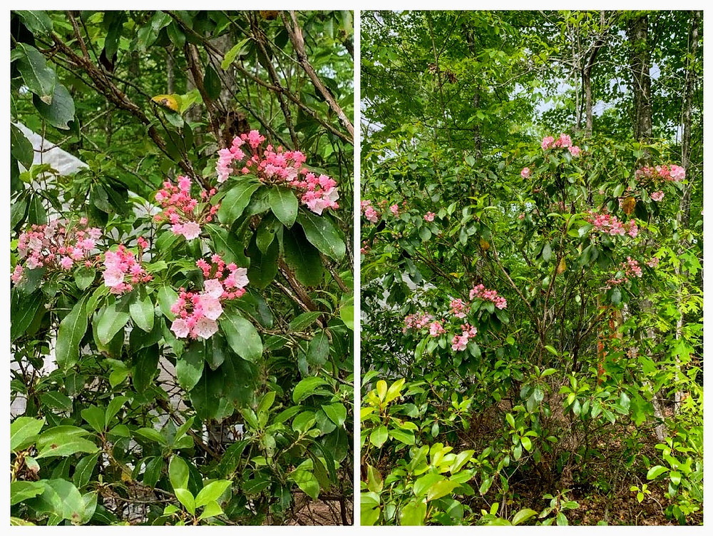 Things to look forward to.. TN Mountain Laurel