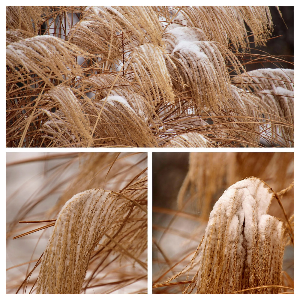 Ornamental Grasses Weighted with Snow