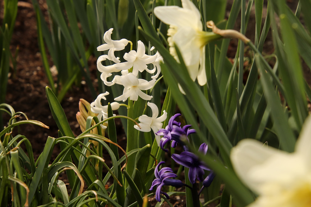 Hyacinth framed by Daffs and Greens