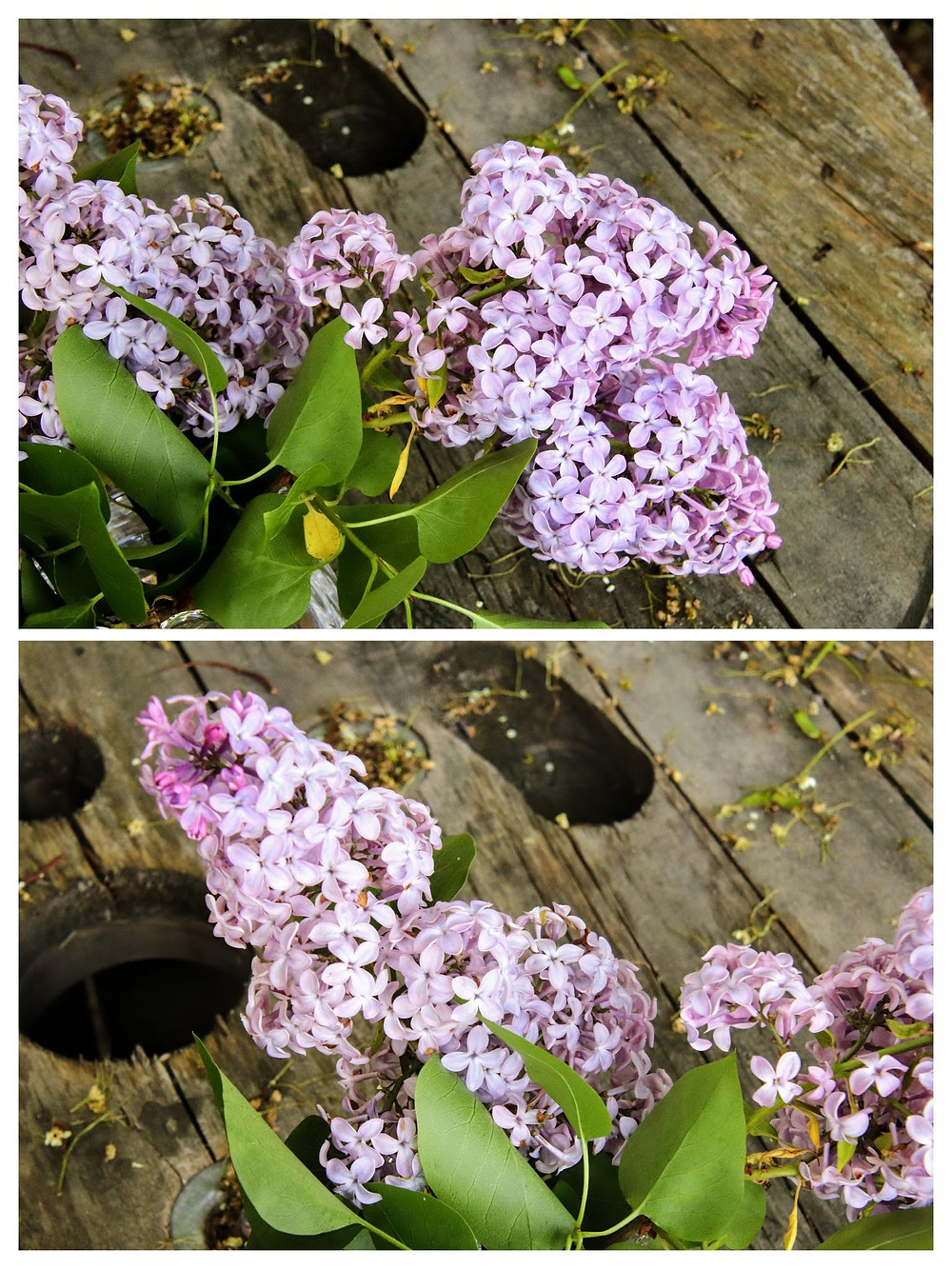 Lilacs from my friend Cindy