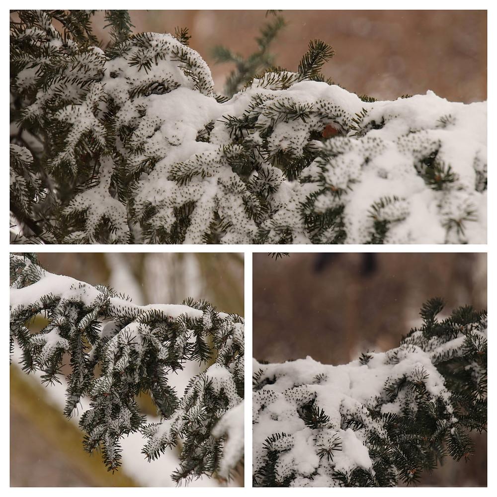 Pine Bows Harboring Snow