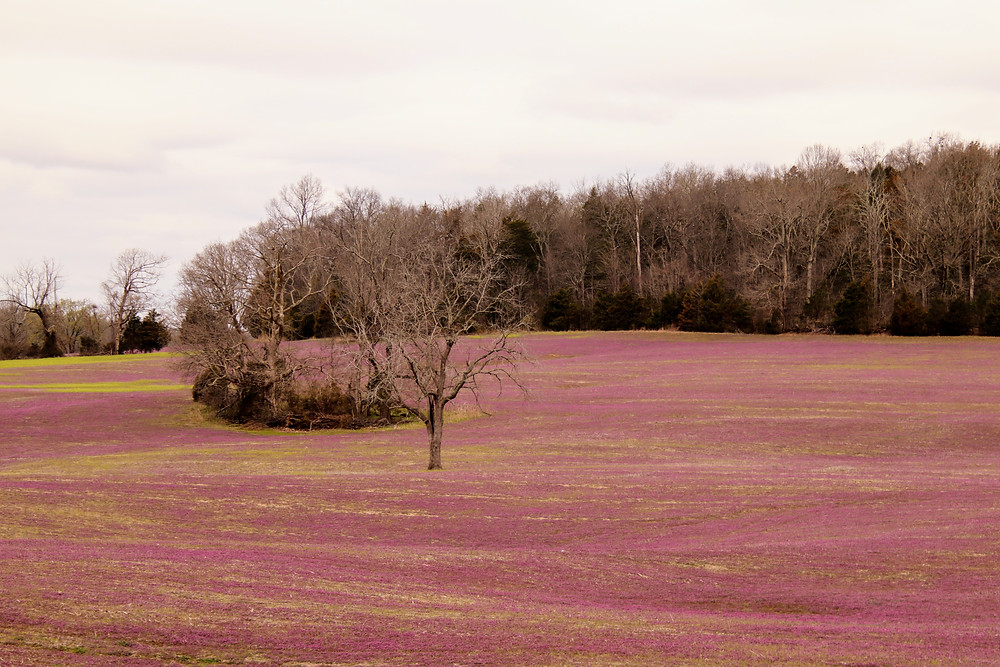 Fields of Purple Blossoms