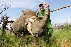 Madikwe Rhino Capture 070.jpg