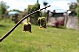 pawpaw flowers 2.jpg