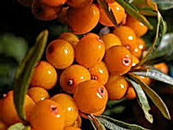 Seabuckthorn, Seaberry, Swallowbery