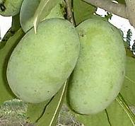 nc1 Asimina Tree