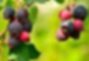 saskatooon%20berry%202_edited.jpg