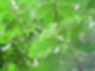 Honeydew Pawpaw Tree.jpg