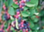 Saskatoon%20berry_edited.jpg