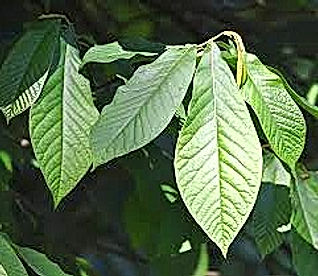 Asimina Triloba PawPaw leaves