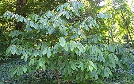 Pawpaw Tree for sale UK