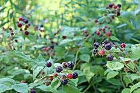 black raspberry 2.jpeg
