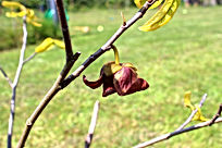 Summer Delight pawpaw flower