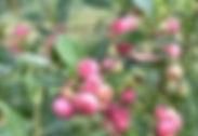 pink%20blueberry_edited.jpg