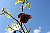 pawpaw trees for sale princess flower.jpg