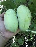Halvin Asimina Triloba Tree.jpeg