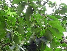 Cantaloupe Pawpaw.jpg