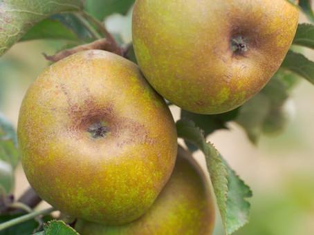 Ashmeade Kernel Apples