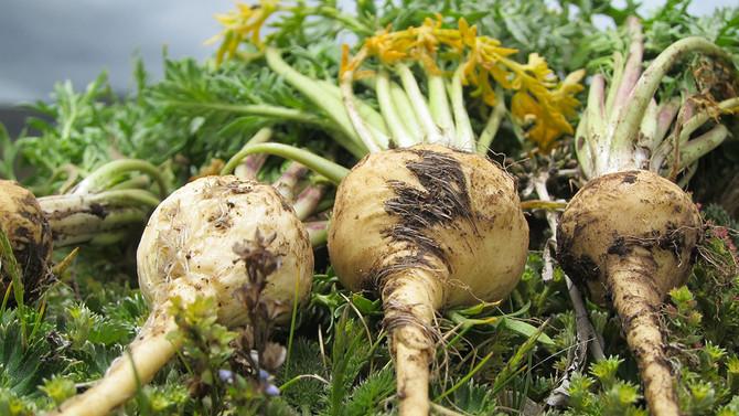 Why We Love Maca: Top Benefits of this Amazing Adaptogenic Herb