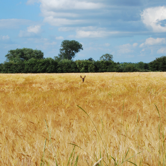 A Hollands Farm crop of barley – winter feed for our cattle.  And a visitor!