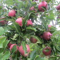 PYO Apples
