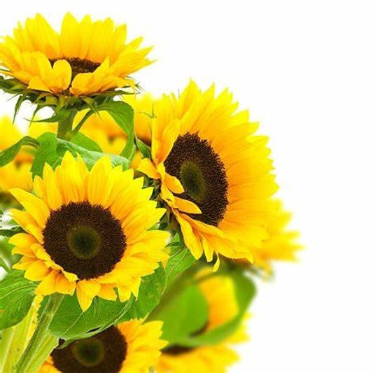 Sunflower2.jpg