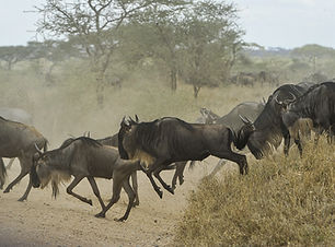 wildebeests-805391_1920.jpg