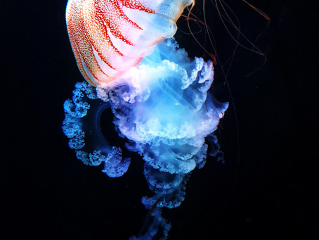 Jellyfish Facts & Colouring Resource