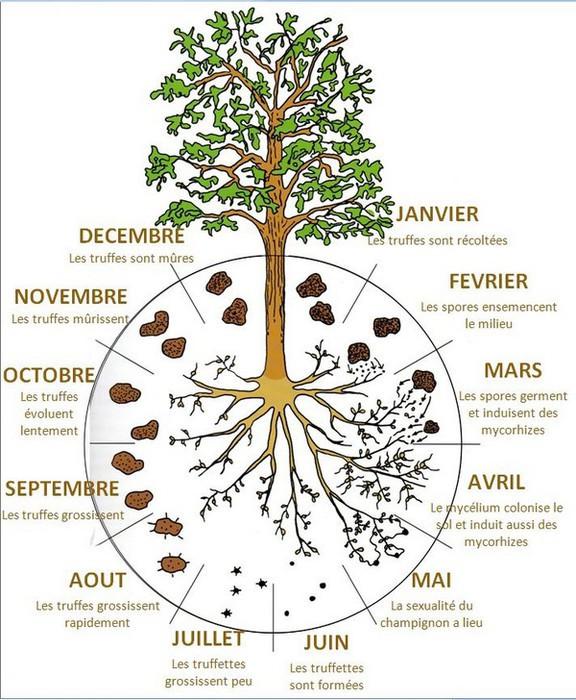 Schéma du cycle annuel de la truffe  © Pierre Sourzat – station trufficole du Montat