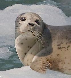 Harbor_Seal_(Phoca_vitulina) Gregory Smith Wikimedia Commons.jpg
