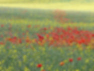 poppyfield.jpg