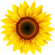 32629-4-sunflower-transparent-image.png