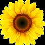 32629-4-sunflower-transparent-image.png