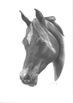 Arabian Purebreed
