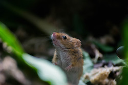 Field Mouse Close Study.jpg