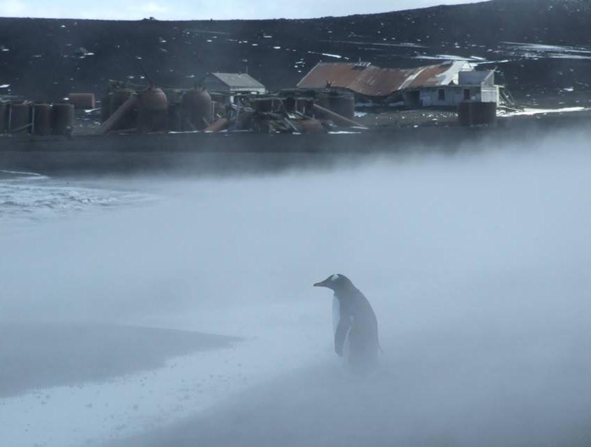 Gentoo penguin in steam