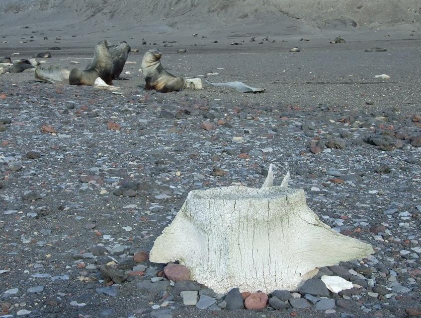 Sea lions and whale bone