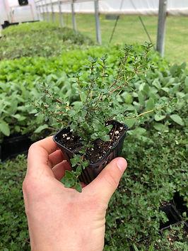 plant sale - thyme.jpg