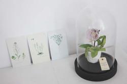 Hellébore miniature en pot