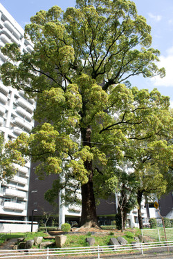 An A-bomb surviving campher tree in Motomachi Community-1