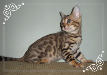 bengal kitten.png