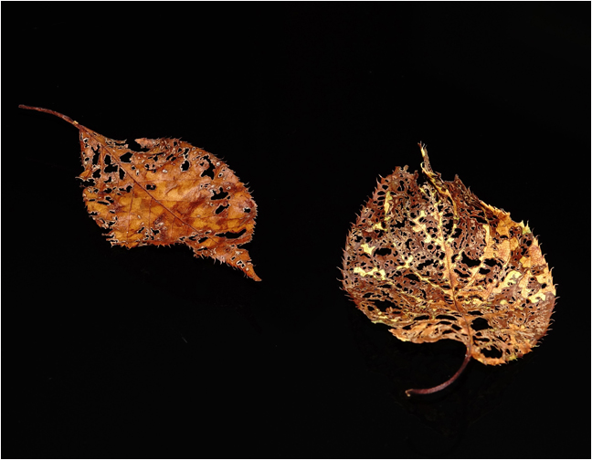 Bonnie Gamache Lacey Leaves