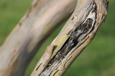 cicatrice arbre.webp