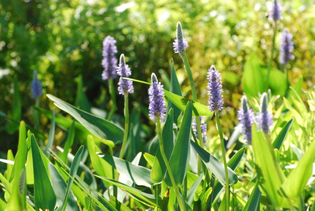 Linda_Varnis_Mud-Pond_Plants-1024x685