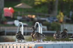 Linda-Varnis-Ducks-on-Dock