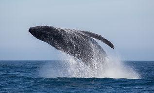 Humpback Whale Mau, whale breaching