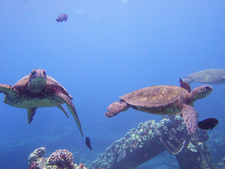 Learn about our Sea Turtles: 'Aumākua, or spiritual guardians