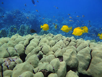yellow tang on coral head2 copy.jpg